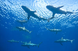 swimming with sharks resized 600
